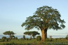 National Tree Of Senegal -Baobab Tree Baobab Tree, Tanzania Safari, Best Foundation, Epoch, Africa Travel, Earth Day, Seeds, National Parks, Country Roads