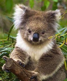 Koala by Neilstha Firman on Cute Koala Bear, Baby Panda Bears, Cute Funny Animals, Cute Baby Animals, Animals And Pets, Amazing Animals, Animals Beautiful, The Wombats, Tier Fotos