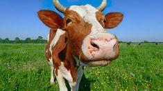 Oletko kesän asiantuntija? Testaa tietosi! Farm Animals Preschool, Holstein Cows, Cow Pictures, How To Eat Less, Jaba, Cattle, Flower Art, Photo And Video, Books