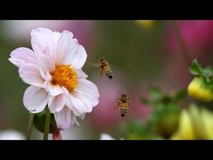 Pollinators Vital To The Majority Of World's Food Supply Are Dying Out - Newsy - YouTube. [Thank you, Monsanto, big polluters, irresponsible farmers, you idiots!!]
