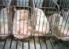 Applaud Martha Stewart for urging a ban for pig gestation crates that confine pigs to cages that are so small, the pigs cannot turn around. Sign this petition to commend Martha Stewart and encourage other public figures to public endorse animal welfare. Smithfield Foods, Hog Farm, Mercy For Animals, One Step Forward, Factory Farming, Pig Farming, Animal Protection, Animal Cruelty, Animal Welfare