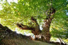 En el hemisferio Norte del planeta es donde crece casi la totalidad de los Castanea sativa, los castaños que dan frutos comestibles. El origen de este árbol no se conoce a ciencia cierta pero sí se sabe que los griegos ya lo explotaban como alimento, hace más de 2.500 años.