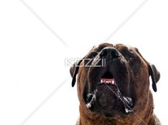 close up of dog's open mouth - Tight shout of dogs open mouth .