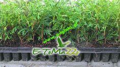 THUJA TUJA BRABANT PRODUCENT MULTIPALETA 15CM - Tuje, Drzewa, Krzewy, Rośliny