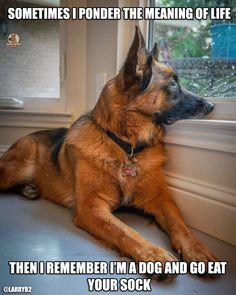 The German Shepherd Long Coat German Shepherd, German Shepherd Memes, German Shepherd Pictures, German Shepherds, Funny Dog Pictures, Animal Quotes, Beautiful Dogs, Best Dogs, Funny Cats