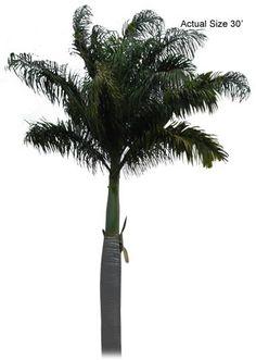 Florida Royal Palm, Roystonea elata