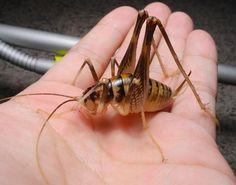 Wetas for sale!!! Giant Slender-Legged Cave Cricket (8/$30)