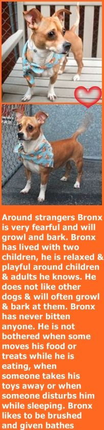 SUPER URGENT Manhattan Center BRONX – A1075260 MALE, BROWN / WHITE, CHIHUAHUA SH / PEKINGESE, 6 yrs OWNER SUR – EVALUATE, NO HOLD Reason MOVE2PRIVA Intake condition UNSPECIFIE Intake Date 05/26/2016, http://nycdogs.urgentpodr.org/2016/05/bronx-a1075260/