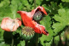 Poppy Flower at Col du Lautaret France