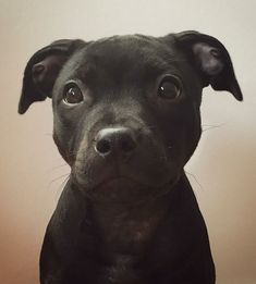 Best Pitbull lover T-shirt Cute Dogs And Puppies, Baby Dogs, Black Pitbull Puppies, Smiling Pitbull, Doggies, Funny Pitbull, Cute Little Animals, Cute Funny Animals, Pitbull Terrier