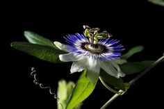 Passiflora 4 by Yılmaz Akar on 500px