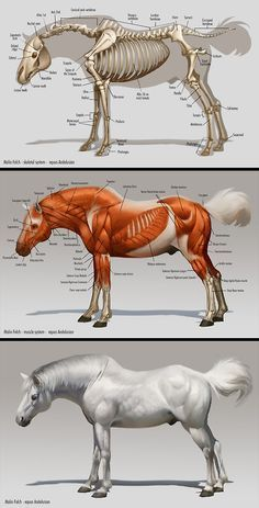 Anatomy Drawing Reference this post is horse anatomy. I like how it has both the skeleton and the muscles. I also like that you can compare it to an outside view of the horse. Anatomy Study, Anatomy Drawing, Anatomy Reference, Drawing Reference, Skin Anatomy, Drawing Step, Pose Reference, Horse Anatomy, Animal Anatomy