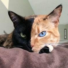 Venus, the chimera cat - 9GAG