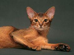 Abyssin: Ce chat est à la fois indépendant et colleur, mais s'avère souvent méfiant avec les étrangers. Il ADORE bouger. Il est attachant, mais parfois insistant et peu accommodant. Armez-vous de patience.