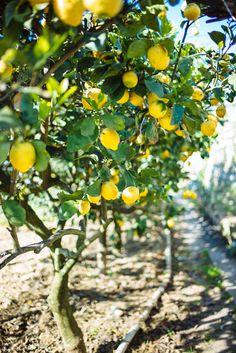lemon trees at da gelsomina restaurant in capri, italy, the taste sf Positano, Amalfi Coast Italy, Sorrento Italy, Italian Summer, Tree Photography, Wedding Photography, Garden Trees, Travel Aesthetic, Italy Travel