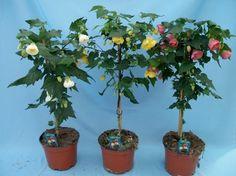 Tropikal Ebegümeci » Bitki Bakımı ve Yetiştirme Çiçek yetiştirme ve çiçek bakımı