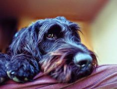 Maltese Dogs, Chihuahua, Rottweiler, Yorkshire Terrier, Pitbull, Poodle, Dog Whining, Dog Rates, Labradoodles