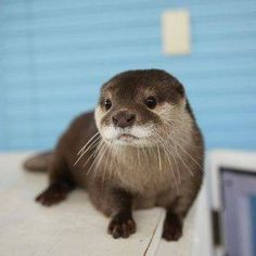 Otters Are Literally One Of The Cutest W. - We've gathered our favorite ideas for Otters Are Literally One Of The Cutest Wild Animals Ever, E - Cute Wild Animals, Animals Beautiful, Animals And Pets, Funny Animals, Otters Cute, Baby Otters, Baby Sloth, Mundo Animal, My Animal
