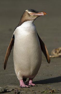Yellow Eyed Penguin NZ.