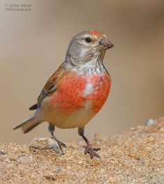 Common linnet (Linaria cannabina) Wildlife Photography, Animal Photography, Beautiful Birds, Animals Beautiful, Names Of Birds, Wild Creatures, Linnet, Bird Pictures, Colorful Birds