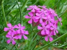Catchfly Perennials – How To Care For A Sweet William Catchfly Plant