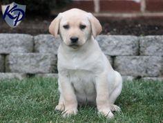 Drake – Labrador Retriever – Yellow Puppy www.keystonepuppies.com  #keystonepuppies  #yellowlab