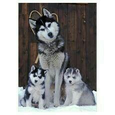 Siberian Husky Family Portrait