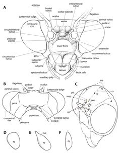 Manual of praying mantis morphology, nomenclature, and practices (Insecta, Mantodea) Insect Anatomy, Orchid Mantis, Spider Face, Comic Tutorial, Praying Mantis, Bugs And Insects, Animal Drawings, Art Pieces, 3 Logo