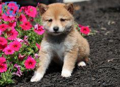 Carly | Shiba Inu Puppy For Sale | Keystone Puppies Shiba Inu, Puppies For Sale, Beautiful Creatures, Corgi, Cute, Animals, Cute Dogs, Corgis, Animales