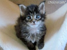 Issy of Maine Coon Castle 7 Wochen alt 825g