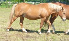Onderzoekers: 'Obesitas bij paarden zelfde probleem als bij mensen' - Paardvisie.nl