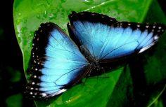 Blue flutterby