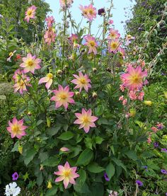 "Dahlia 'Softie' - Glowing with ginormous peachy rose-tipped blooms with centers that fade to yummy lemon meringue yellow, 'Softie"" is a show stopper. Yellow Plants, Yellow Flowers, Wild Flowers, Pink Perennials, Herbaceous Perennials, Pink Garden, Dream Garden, Garden Bed, Flower Words"