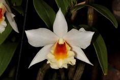 Dendrobium christyanum - Flickr - Photo Sharing!