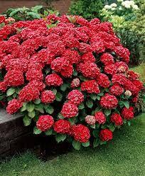 Buy ornamental shrubs now Hydrangea 'Fireworks' Hydrangea Macrophylla, Hortensia Hydrangea, Red Hydrangea, Hydrangea Care, Bright Flowers, Red Flowers, Beautiful Flowers, Garden Shrubs, Garden Plants