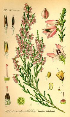 Calluna vulgaris - Wikipedia, la enciclopedia libre