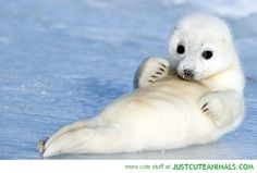 baby-harp-seal-ice-cute-animal-pictures.jpg (580×393)