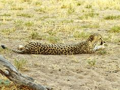 Here we have the fastest land animal on the planet, the Cheetah, taking a break in-between outracing unlucky food sources.