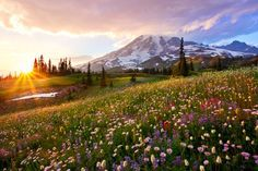 Spring wildflowers radiate colour in the sunset shadow of Mount Rainier, set in its own national park 54 miles from Seattle, Washington state. The 4,392-metre monster is an active volcano considered to be one of the most dangerous in the western hemisphere. It is a sister volcano to Mount St Helens (which famously erupted in 1980) in the Cascade range. Photograph by Danny Seidman