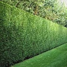 Pittosporum tenuifolium 'Silver Sheen' can be sheared to a perfect hedge, can grow quickly up to 20' ! Or shear to keep the height needed.