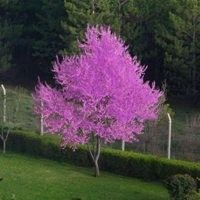 oklahoma redbud tree - definatly having these in our futrure yard