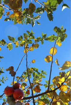 Blue sky and apple orchards!
