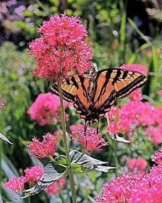 Swallowtail Butterfly art print. www.ronablack.com
