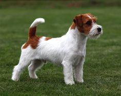Russell Terrier - GCH Ch Goldsands Columbus