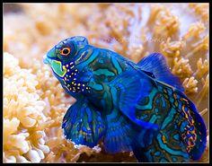 Mandarín #peces #mandarín #zonareef