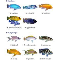 Ciclidos Africanos por familias Malawi Cichlids, African Cichlids, Fish Breeding, Fish Ponds, Beautiful Horses, Under The Sea, Fresh Water, Animals, Tanks