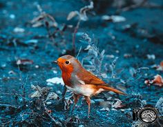 "Check out new work on my @Behance portfolio: ""Robin Bird"" http://be.net/gallery/57884791/Robin-Bird"