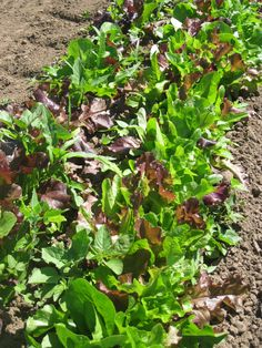 Salad greens out in the field at French Prairie Gardens