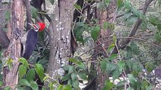 #Birds,  #Ceret,  #PicaPau,  #PicaPauDoTopeteVermelho,  #vermelho,  #passaro,  #red  Bird - Pica Pau do Topete Vermelho
