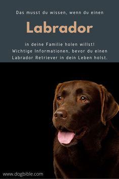 Ein labrador ist ein absoluter Familienhund und auch für viele andere Dinge zu gebrauchen. Als Arbeitshund oder Therapiehund lässt sich der Labrador ebenso gut verwenden. Labrador Retrievers, Labrador Breed, Guide Dog, Medium Sized Dogs, Bloodhound, Therapy Dogs, Family Dogs, Working Dogs, Newfoundland